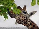 Giraffen speisen 01