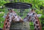 Giraffen speisen 03