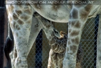 Giraffenkalb 2