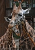 Giraffenmama mit Kalb