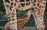 Giraffentränke