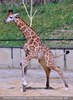 Junge Giraffe 1