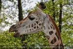 Kauende Giraffe