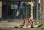 Kleine Giraffe 1