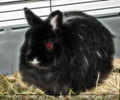Red eye rabbit