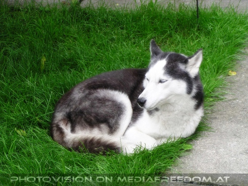Ein guter Husky Freund aus der Nachbarschaft: Anuk