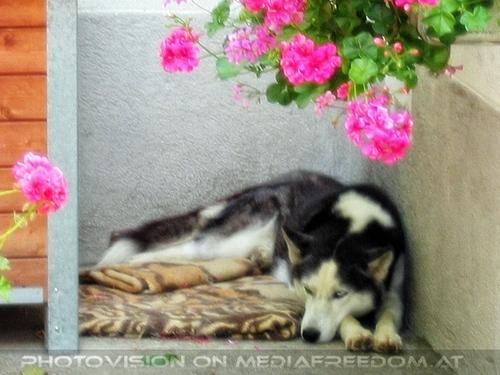 Husky Lady Anuk