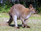 Känguru 1