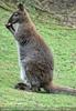Knabberndes Känguru