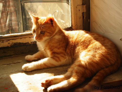Bonsai liegt auf dem Fensterbrett: Bonsai (Hauskatze)