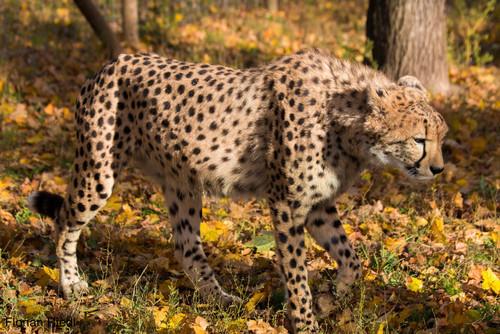 Gepard: Florian Riedl