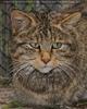 Wildkatzen Portrait