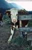Mamau Cow
