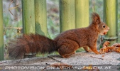 Nussknacker Eichhörnchen