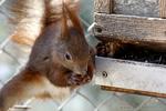 Eichhörnchen bedient sich am Vogelfutter