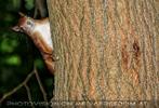 Waches Eichkätzchen