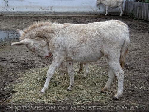 Advent 06: Weiße Esel