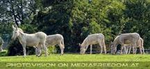 Am Hof 20 - Weiße Esel