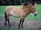 Przewalski Pferd 1