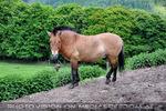 Przewalski-Pferd 1