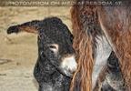 Eselfohlen bei der Mama