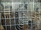 Im Zebrahaus