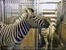 Im Zebrastall