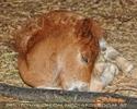 Pony Fohlen schläft