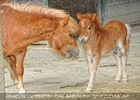 Pony Mama mit Fohlen