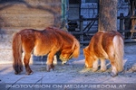 Ponypaar