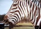 Scheibenwischer Knabber Zebra