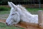 Weiße Esel 1