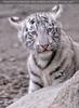 Weiße Tiger Kindergarten 33