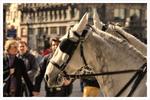 Wiener Fiaker Pferde