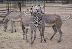 Zebra Ballett 01