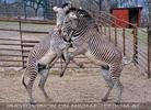 Zebra Ballett 08