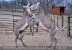 Zebra Ballett 10