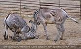 Zebra Ballett 14