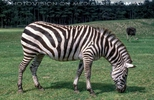 Zebra grast