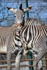 Zebra Liebe