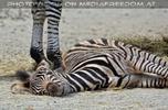 Zebras 05