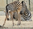 Zebras 06
