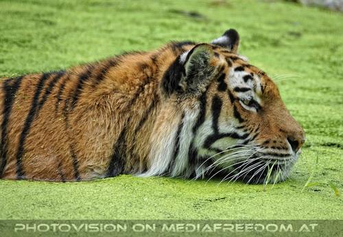 In der Blütensuppe: Sibirischer Tiger