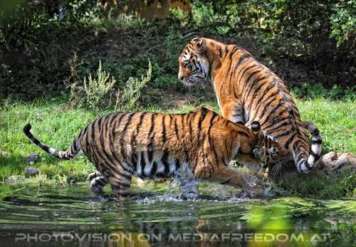Beiß mich nicht...: Sibirischer Tiger