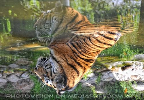Majestät im Spiegel: Sibirischer Tiger