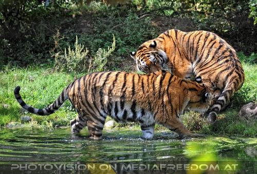 ...in den Hintern: Sibirischer Tiger