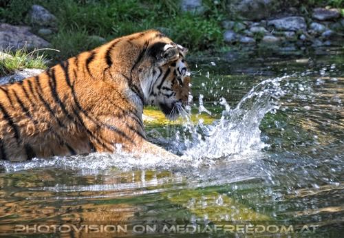 Der grüne Ball 01: Sibirischer Tiger