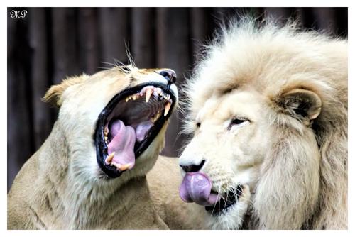 Gähnende Löwin