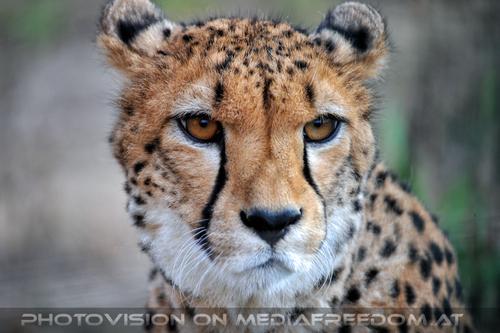 Geparde 16