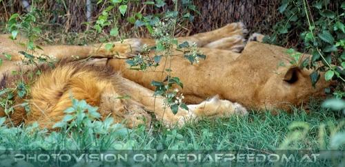 Safari 05: Löwen